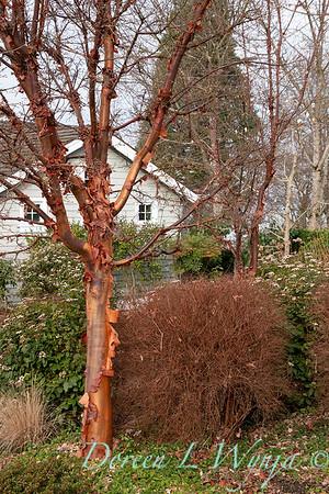 Acer griseum winter landscape_1231