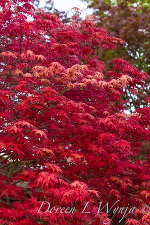 Acer Chishio Improved red shindeshojo