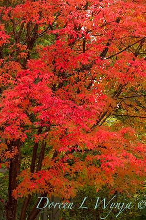 Acer griseum Maple tree