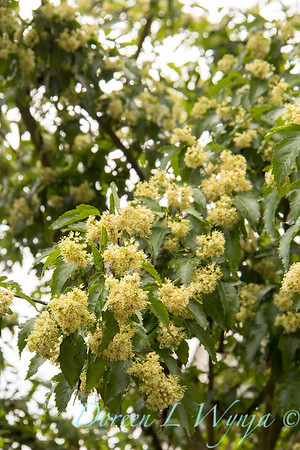 Acer tataricum subsp  ginnala 'Mondy'_3153