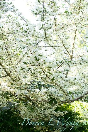 Acer campestre Carnival_003