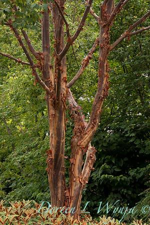 Acer griseum trunks_5248