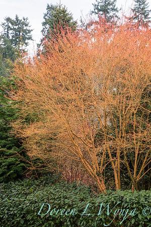 Acer palmatum 'Bihou' in a landscape_1150