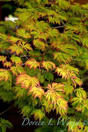 Acer japonicum Aconitifolium 'Fullmoon'