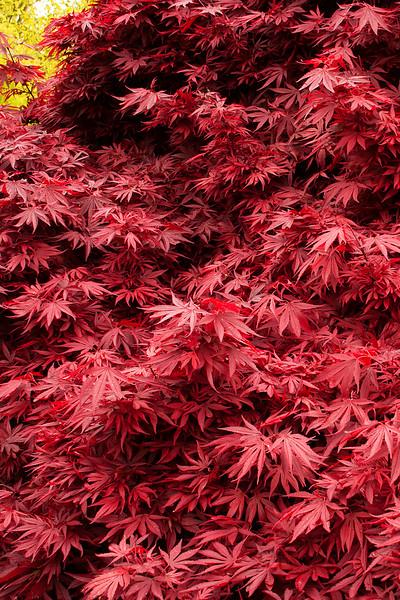 Acer plamatum Shaina_004MC