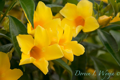 yellow flowering Allamanda cathartica