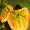 Anthurium multi colored_004