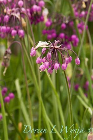 Allium cernuum_005