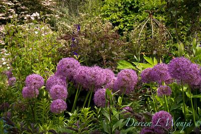 Allium Globemaster Northwest Garden Nursery