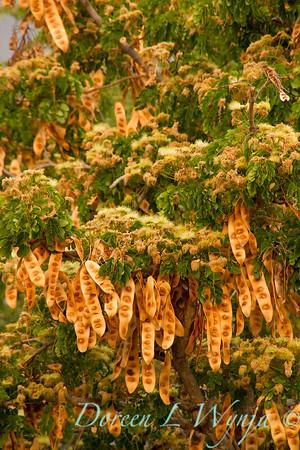 Albizia lebbeck seed pods