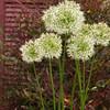 Allium stipitatum 'Mount Everest'_2973