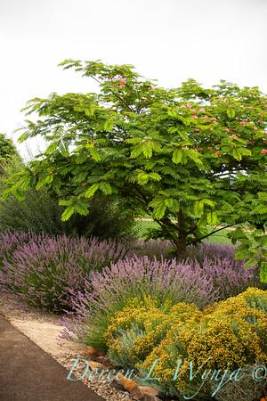 Albizia julibrissin Rosea - lavender border planting