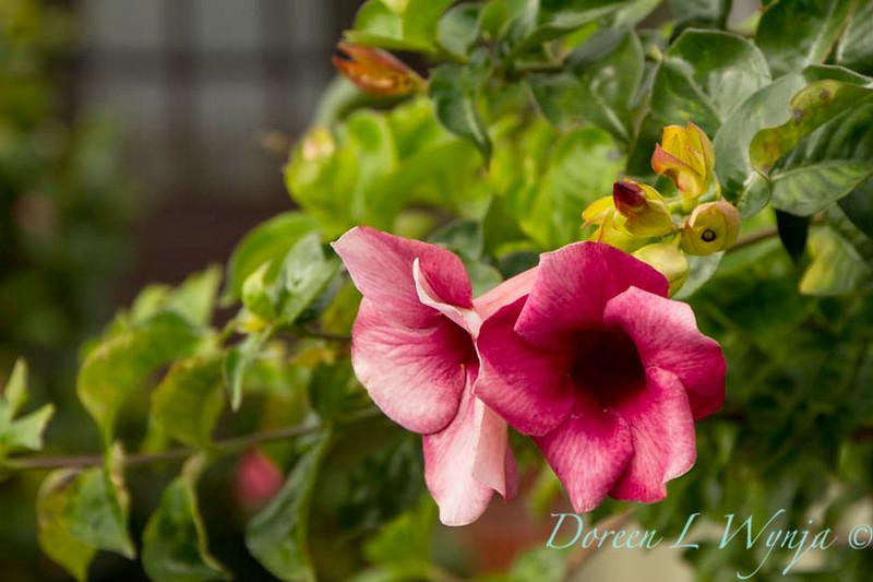 Allamanda cathartica Cherries Jubilee_024