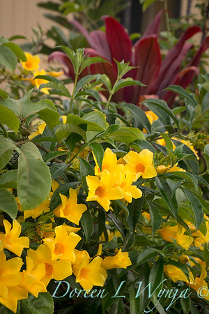 yellow flowering Allamanda cathartica