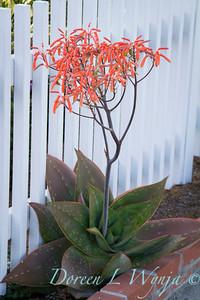 Aloe maculata_2123