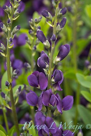 7706 Baptisia 'Royal Purple'_7410