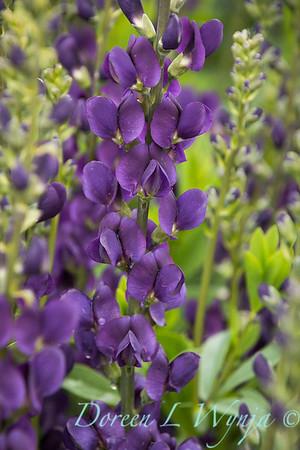 7706 Baptisia 'Royal Purple'_7407