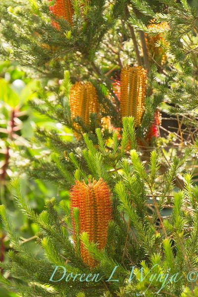 Banksia ericifolia_ 024