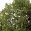 Betula pendula_026
