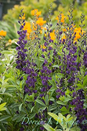 7706 Baptisia 'Royal Purple'_7400