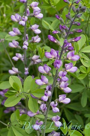 Baptisia australis Purple Smoke_029