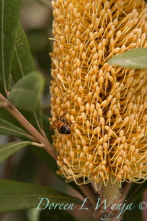 Banksia Yellow_005