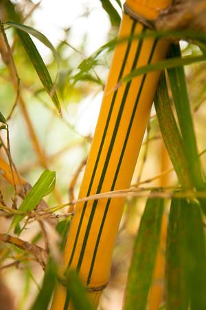Bambusa vulgaris Vittala_ 009