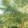 Betula nigra 'Cully'_6730