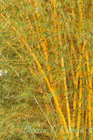 Bambusa vulgaris Vittata_1680