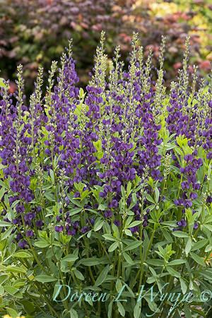 7706 Baptisia 'Royal Purple'_7380