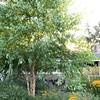 Betula nigra 'Cully' - Rudbeckia fulgida var  sullivantii 'Goldsturm' - Pennisetum alopecuroides 'Hameln' - Calamagrostis x acutiflora 'Karl Foerster'_0568