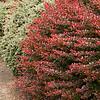 Berberis thumbergii Crimson Pygmy_107