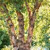 Betula nigra 'Cully'_6732
