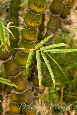 Bambusa ventricosa_009M