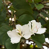 Bauhinia variegata 'Candida' - Orchid Tree_3547
