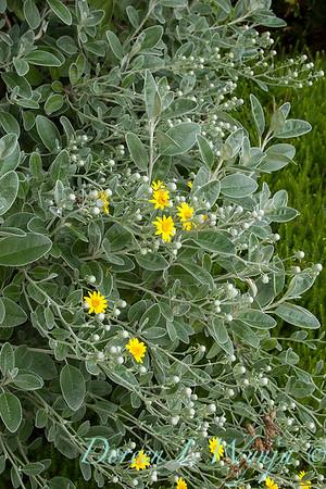 Brachyglottis greyi_029