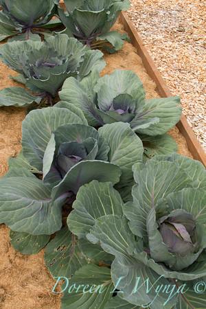 Brassica oleracea var  capitata f  rubra Raised Bed_Doreen Wynja_3553
