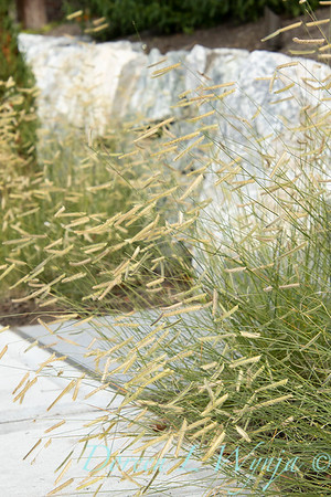 Bouteloua gracilis Blonde Ambition border planting_7210