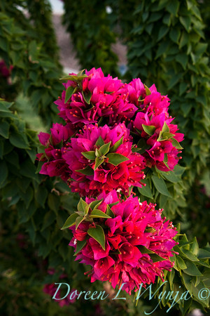 Bougainvillea Torch Glow_015M