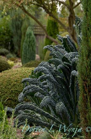 Brassica oleracea Lacinato Dinosaur_007
