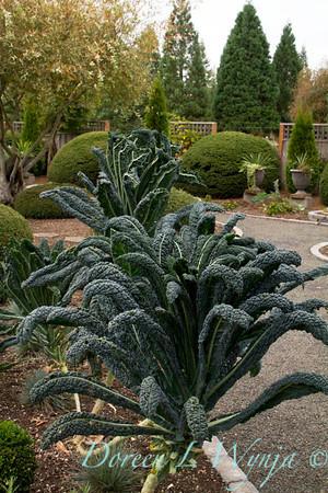 Brassica oleracea Lacinato Dinosaur_013