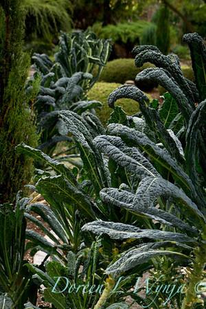 Brassica oleracea Lacinato Dinosaur_003