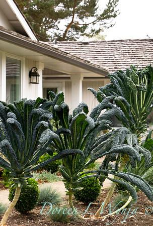 Brassica oleracea Lacinato Dinosaur_026