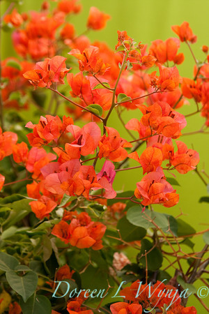 Bougainvillea Orange King_014
