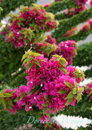 Bougainvillea Torch Glow_012