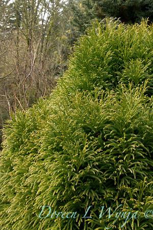 Cryptomeria japonica Globosa_002