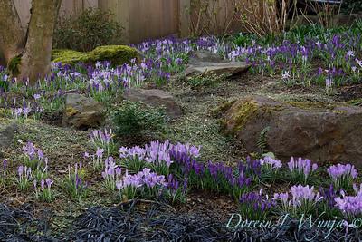 Crocus tommasinianus 'Whitewell Purple' - Ophiopogon planiscapus 'Nigrescens' landscape_6891