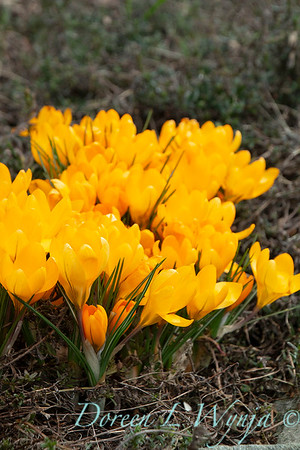 Crocus x luteus 'Golden Yellow'_1247