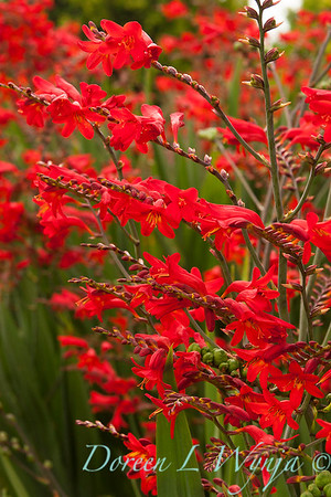 Crocosmia Lucifer_010