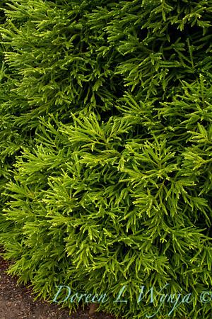 Cryptomeria japonica Spiralis_004